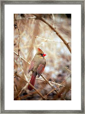 Framed Print featuring the photograph Cardinal Birds Female by Peggy Franz