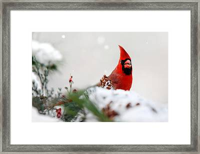 Cardinal Framed Print by Christina Rollo