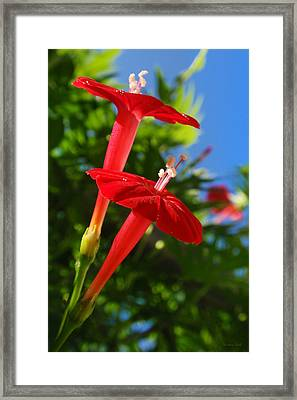 Cardinal Climber Flowers Framed Print by Christina Rollo