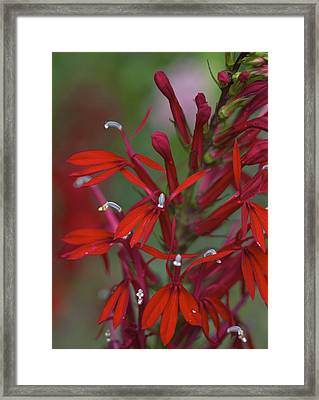 Cardinal Flower Framed Print by Jane Eleanor Nicholas