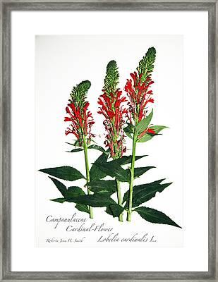 Cardinal-flower Framed Print