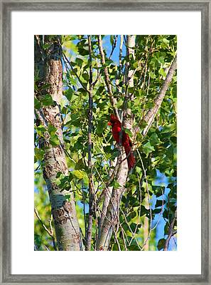 Cardinal Hidden Framed Print