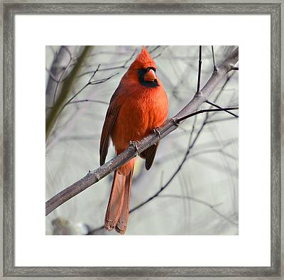 Cardinal In A Tree Framed Print by Susan Leggett
