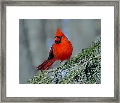 Cardinal In An Evergreen Framed Print