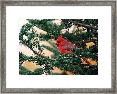 Cardinal In Balsam Framed Print by Susan Capuano