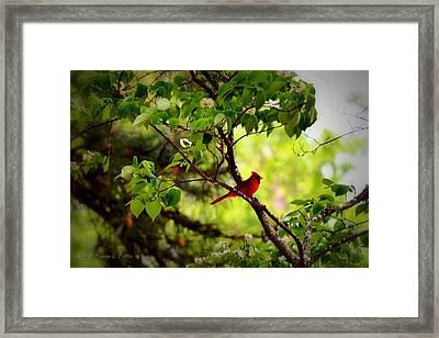 Cardinal In Dogwood Framed Print by Tara Potts