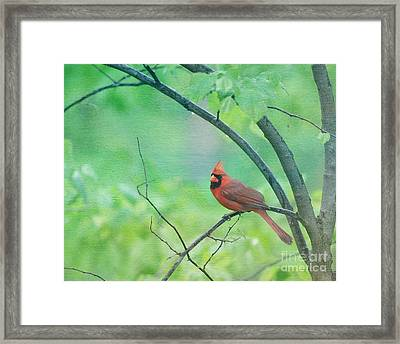 Cardinal In Rain Framed Print