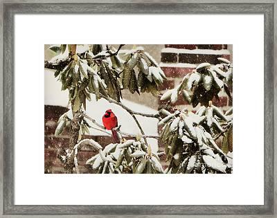 Cardinal In Snow Framed Print