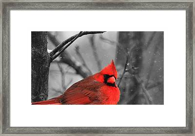 Cardinal In Snow Framed Print by Dan Sproul