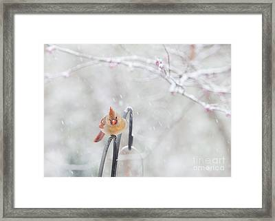 Cardinal In Snow Framed Print by Kay Pickens