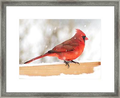 Cardinal In Snow Storm Framed Print by Jim Hughes