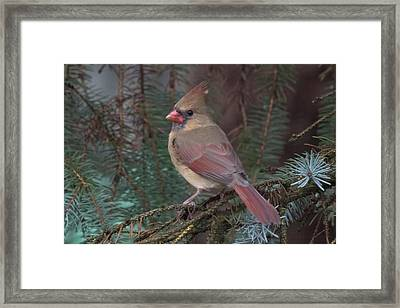 Cardinal In Spruce Framed Print by John Kunze