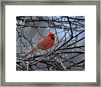 Cardinal In The Rain   Framed Print