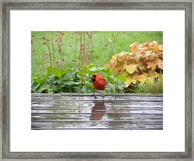 Framed Print featuring the photograph Cardinal In The Rain by Teresa Schomig