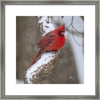 Cardinal In The Snow Framed Print