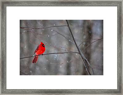 Cardinal In The Snow Framed Print by Karol Livote