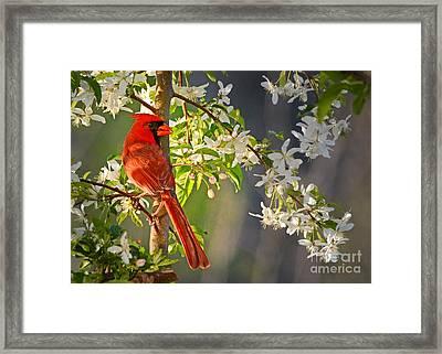 Cardinal In The Springtime Framed Print