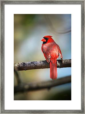 Cardinal In The Sun Of Spring Framed Print