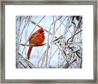 Cardinal In The Willow IIi Framed Print