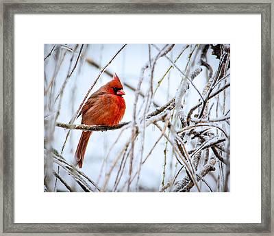 Cardinal In The Willow IIi Framed Print by Jon Woodhams