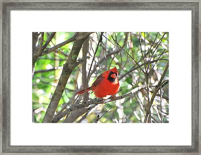Framed Print featuring the photograph Cardinal In Tree by Jodi Terracina