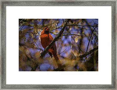 Cardinal In Waiting Framed Print by Barry Jones