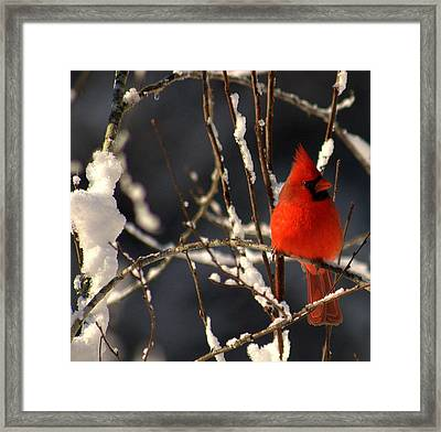Framed Print featuring the photograph Cardinal In Winter 2 by John Harding