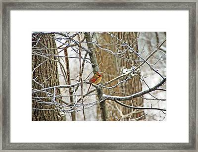 Cardinal In Winter Framed Print by Aimee L Maher Photography and Art Visit ALMGallerydotcom