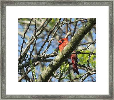 Cardinal  Framed Print by James Hammen