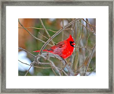 Cardinal Framed Print by Jay Nodianos