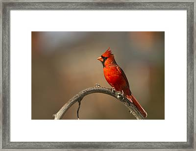 Framed Print featuring the photograph Cardinal by Jerry Gammon