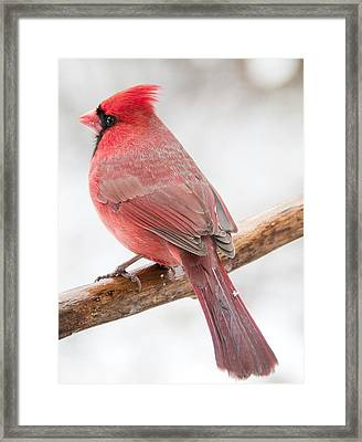 Cardinal Male In Winter Framed Print