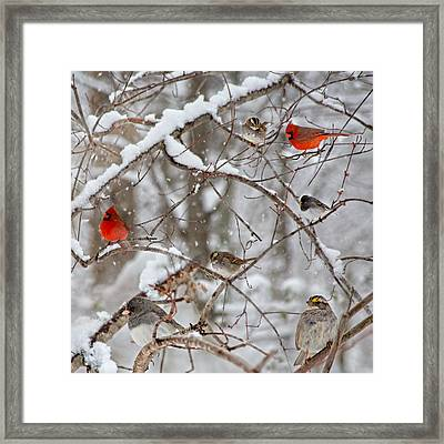 Cardinal Meeting In The Snow Framed Print by Betsy Knapp