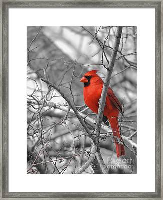 Cardinal Of Hope 002sc Framed Print