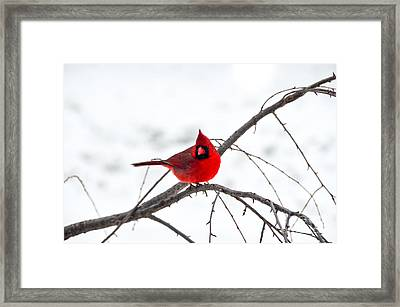 Cardinal On A Branch  Framed Print
