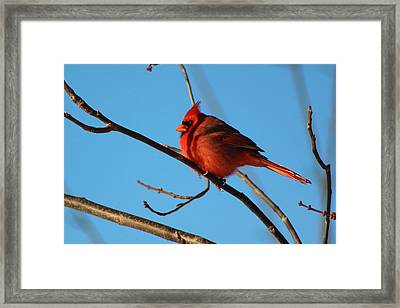 Cardinal On Bare Branch Framed Print by Lorna Rogers Photography