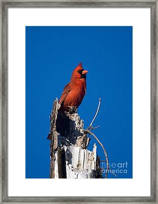 Cardinal On Honeymoon Island Framed Print
