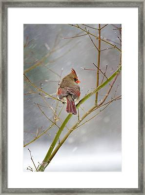 Cardinal On Maple Tree Framed Print by Robert Camp