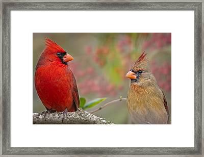 Cardinal Pair Framed Print