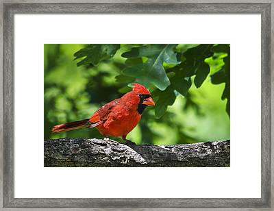 Cardinal Red Framed Print by Christina Rollo