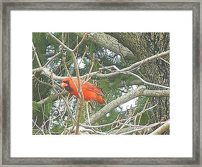 Cardinal Red Framed Print