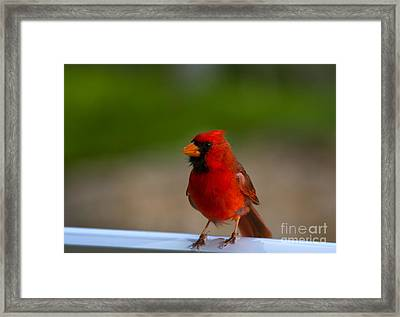 Cardinal Red Framed Print by Mike  Dawson