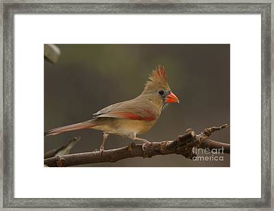 Cardinal Framed Print by Russell Christie