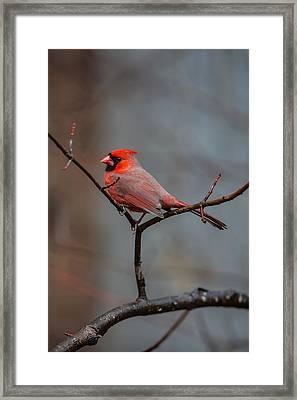 Cardinal Sing Framed Print
