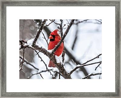 Cardinal Snow Scene Framed Print