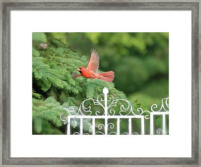 Framed Print featuring the photograph Cardinal Time To Soar by Thomas Woolworth