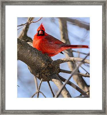 Cardinal Up Close Framed Print