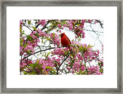 Cardinally Beautiful Framed Print