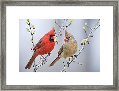 Cardinals In Early Spring Framed Print