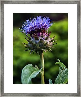 Cardoon Framed Print by Chris Flees